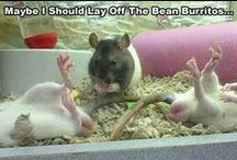 Funny rat captions / Funny rat captions to make you laugh