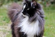 Norwegian Forest Cats / The Norwegian Forest cat is a breed of domestic cat originating in Northern Europe. This natural breed is adapted to a very cold climate, with top coat of glossy, long, water-shedding hairs, and a woolly undercoat for insulation. Wikipedia
