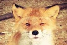 Foxes / I just really like foxes.