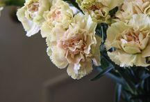Carnations / by Olga Tikhomirova