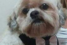 Max... meu lhasa apso / Meu amorzinho!
