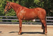 Brumby / Wild horses native to Australia