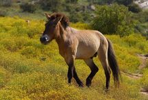 Przewalski / Wild horses native to Mongolia and China, these horses have never been domesticated