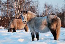 Yakutian / Yakut Horses are wild horses native to Siberia