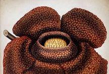 Illustrations - Botany
