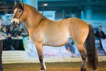 Byelorussian harness horse