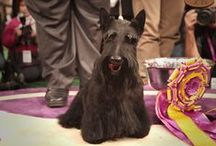 Notable Paws / The Best In Show winners from 140 years of the Westminster Kennel Club Dog Show.