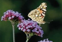 Butterflies in the garden / The UK's native butterflies need your help! Grow as many butterfly-friendly plants in your garden as you can to provide food and shelter for them.