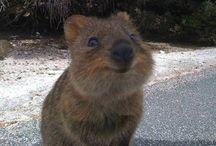 Animals, Australian