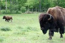 Bison Basics / All about bison - with recipes from the Bison Basics website.