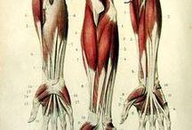 A_Shape_Arms,Forearms