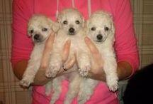 <3 Poodles <3