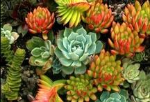 Cactus-Suculentas / by Julia Jorgelina Dominguez