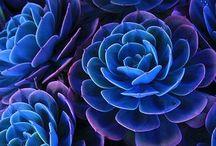 Echeverias - Rock Rose's