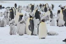 ★ Emperor Penguins ★