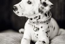 A fan of dalmatian / I had one and I fell in love with it. It´s a combination of energy, joy and love.