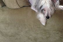 Chinese Crested / by Pattie O'Brien