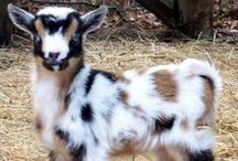 Totes Magoats or maybe Fuzzy Butts?