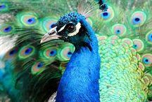 Peacock Pfau / Alles Schöne rund um das Pfauenauge und die wunderschönen Farben des Pfau's