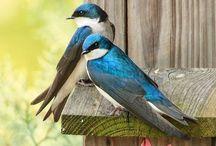 Swallow - Rondini