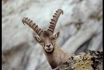 Faune des montagnes / les animaux dans leur milieu naturel