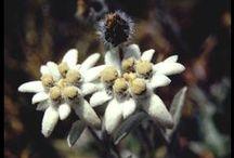 Flore des montagnes / Les fleurs qui fleurissent dans nos montagnes