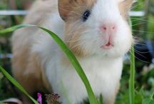 guinea pigs / Guinea pigs are the best small animals!! Blossom  R.I.P Ginger