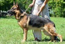 Germes vom Haus Schiran / #dogs #pets #GermanShepherds #Germes vom Haus Schiran #RKF/FCI #male
