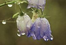 ༺ ♥ Enchanting Bluebells ♥ ༻