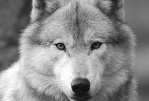 LOBOS / WOLVES / Imagenes de lobos, animales que me apasionan.