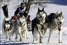 All Things Husky / Siberian huskies!