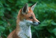 Animals   Fox