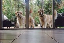 Simba, Nala, Blossom & all adorable White, Irish Cream, Red, Black & all colors of Golden Retrievers: (pictures/recipes/apparel/tips/accessories/health/beauty) / Pictures, Recipes, accessories, tips & miscelanous for my White English Golden Retrievers Simba & Nala & all their Golden friends:  babies, teens, adults and seniors of all colors <3