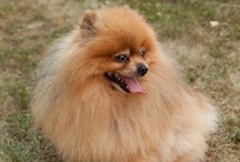 Pom Friendzy / Pom Friendzy is a passionate community of pomeranian lovers looking to connect, share, and learn from others who share the same passion for the breed.
