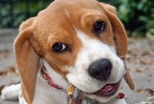 Beagle Friendzy / Beagle Friendzy is a passionate community of Beagle lovers looking to connect, share, and learn from others who share the same passion for the breed.
