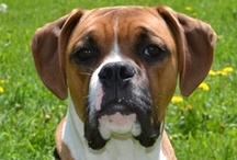 Boxer Friendzy / BoxerFriendzy.com is a community for Boxer lovers! Like and share your photos on our site, on Facebook, and on Pinterest!