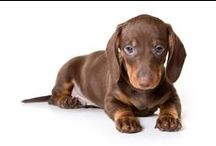 Dachshund Friendzy / A community of Dachshund lovers! More great pups on our home page: www.DachshundFriendzy.com
