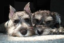 Schnauzer Friendzy / www.SchnauzerFriendzy.com is a community of dog lovers! Join us to share photos, ask questions, or just enjoy daily pictures!