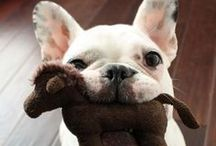 - FRENCH BULLDOGS -