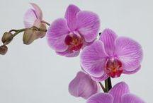что подарить / Орхидея.Горшечные растения.