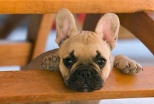 French Bulldogs ll / by Angela King