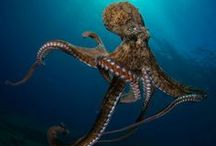 All about Octopus / I'm crazy about octopus... underwater pictures, illustrations, tattoos, jewelry... don't you think they're amazing?