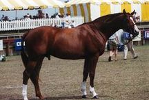 Nob Hill / 1994 Stallion by Duke of Reva / Castle Magic xx/ Goose Step xx Standing at Stud Approved American Warmblood Society Owned by Nokomis Farm