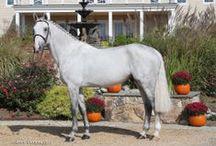 Zilverstar VDL / 2004 Stallion by Cardento x Libero H x Nimmerdor KWPN Foal book  Semen owned by Hyperion Stud