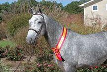 Hidalgo Van De Molenberg / 2007 Stallion by Darco x Latano x Joost Approved BWP Semen owned by Hyperion Stud