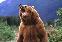 animal_bear