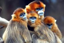 Animals - Apes & Primates / by Jan Vafa