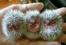 Animals - Hedgehogs / by Jan Vafa