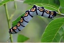 Animals - Bugs/Caterpillars / by Jan Vafa