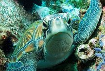 Turtles - Our Namesake! / Of course Cooters are Turtles!  Here are some other types of Turtles! Love them all!